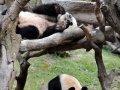 """12 больших панд в качестве """"посланников"""" Азиатских игр начали принимать посетителей в Гуанчжоу. Фоторепортаж"""