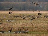 В Приморье в период весенней охоты разрешается добывать уток, гусей, вальдшнепа