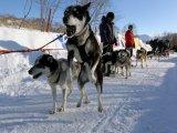 Пройден 10 этап гонки на собачьих упряжках «Берингия»