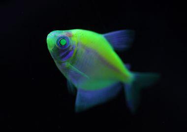 Неоновые рыбки Тернеции привлекают внимание посетителей Приморского океанариума необычной расцветкой